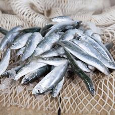 sarda-o-sardine